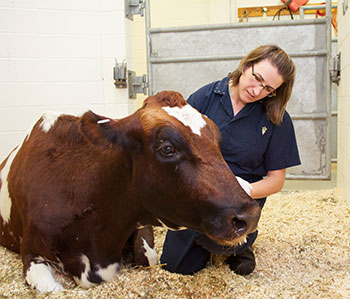 Dr, Schleining with bovine patient