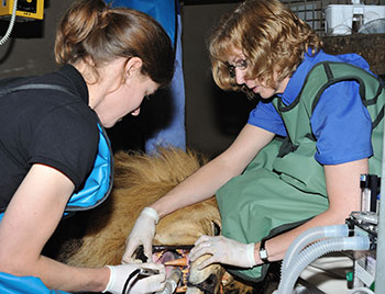 Dr. Olds with student cleaning lion's teeth