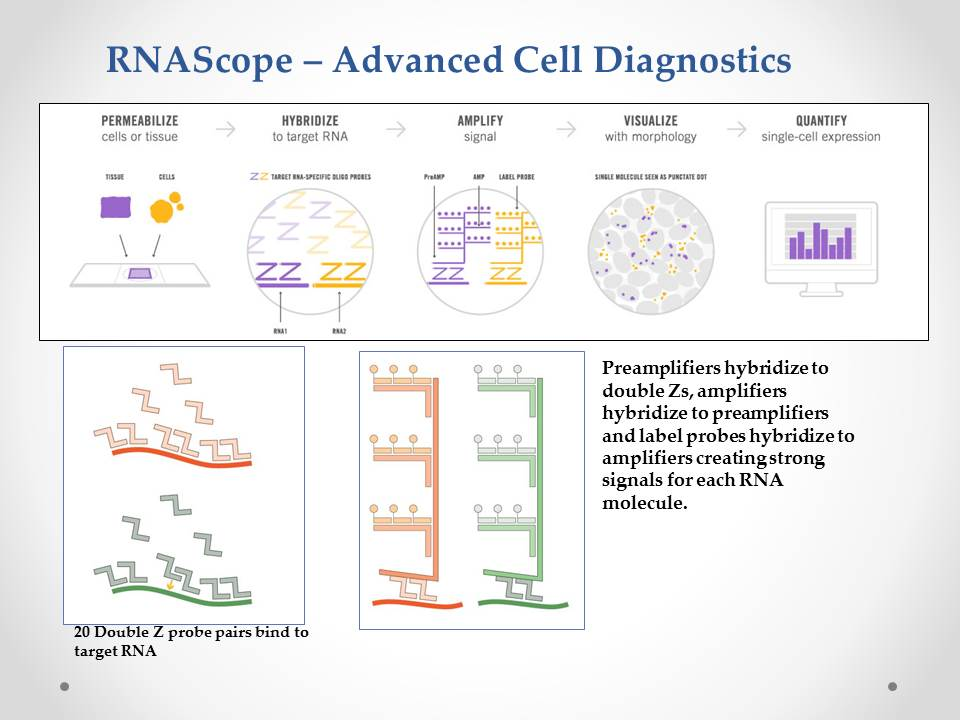 RNAScope-Advanced Cell Diagnostics graph